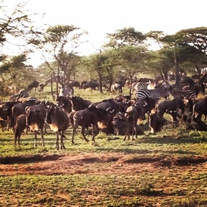 Wildebeest following the Zebra