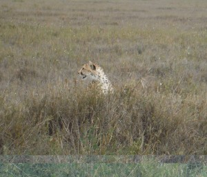 The cheetah stalking the gazelle.