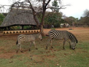 Waking up to zebras outside our tent