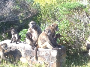 They may look innocent but baboons are crazy!