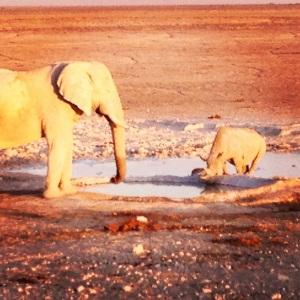 Elephant and Rhino enjoying a drink