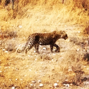 Leopard spotting (no pun intended)