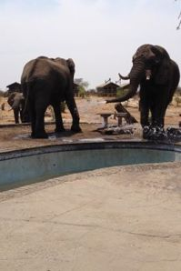 Dominant Elephant hogging the last of the pool water