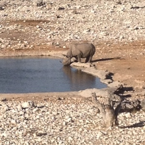 Rhinos at the watering hole