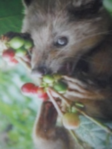 A Luwak eating some coffee beans.
